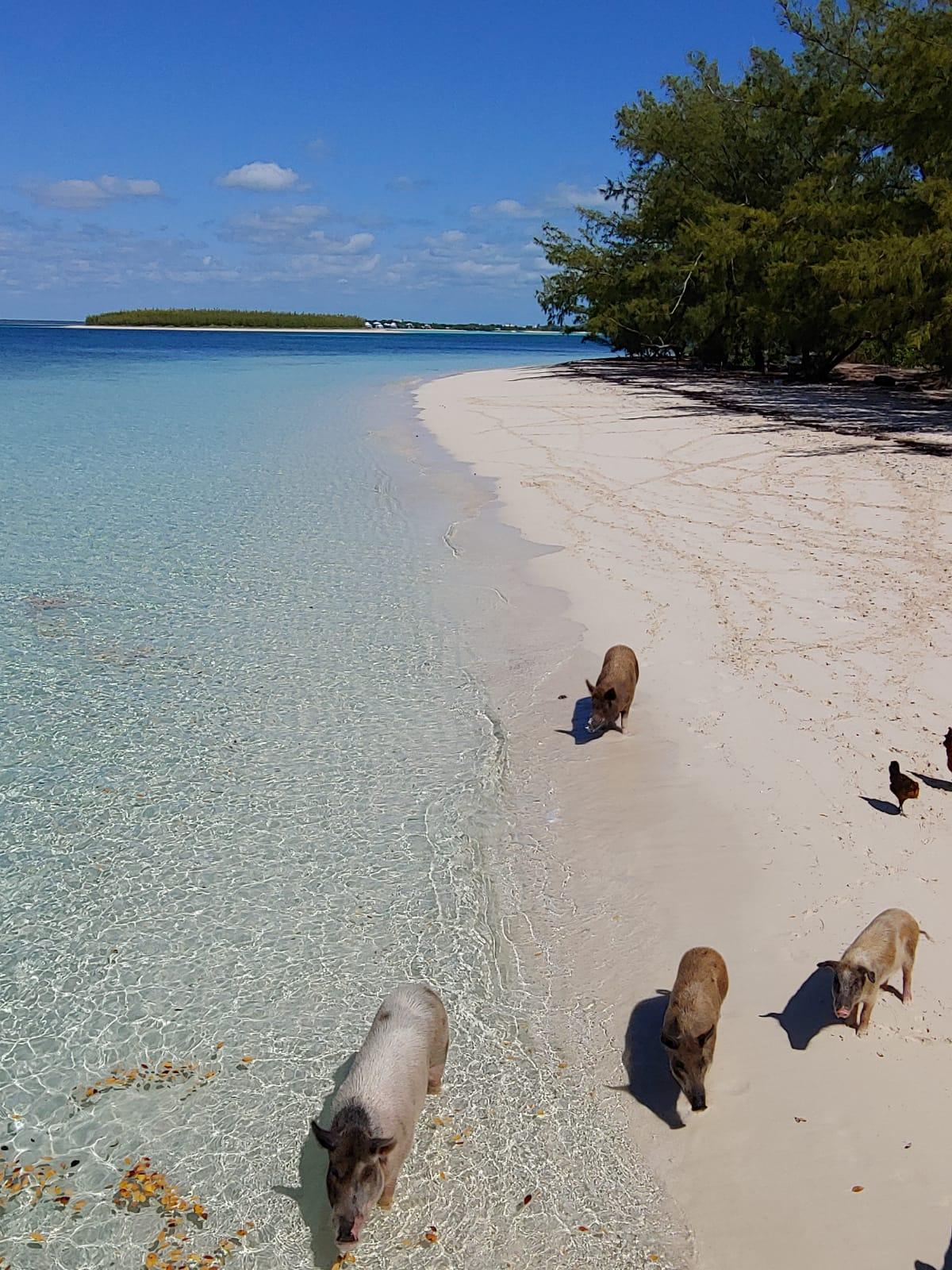 Pigs-on-beach-10