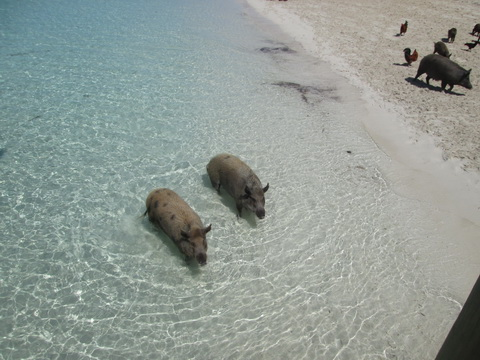 pigs-12_resize