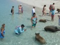 pigs-18_resize